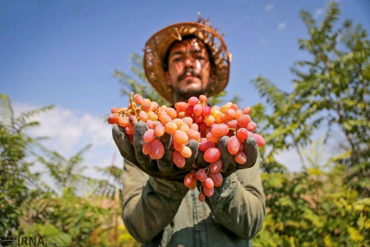 خبرنگاران 400 هزار تن انگور در باغ های استان قزوین فراوری می گردد