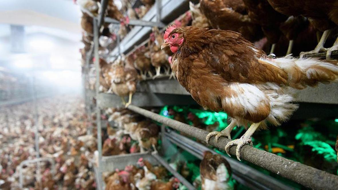 هشدار مشاهده آنفلوانزای فوق حاد پرندگان H5N8 در ژاپن