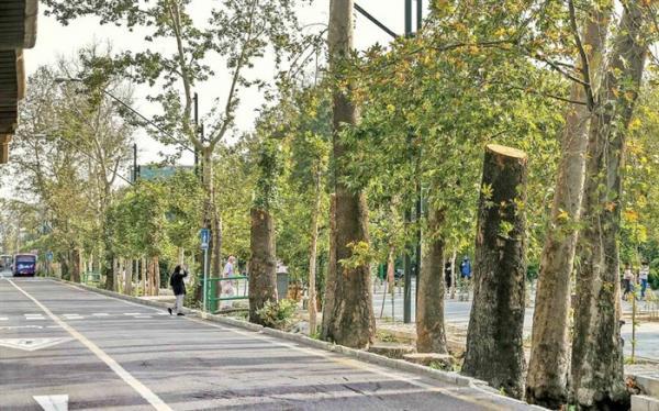 ابهام در حفاظت از چنارستان پایتخت؛ طرح ساماندهی خیابان ولیعصر شفاف نیست